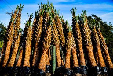 Sabal Palm Trees