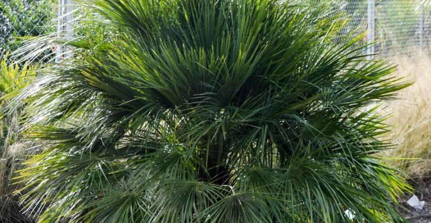 European Fan Palm Trees