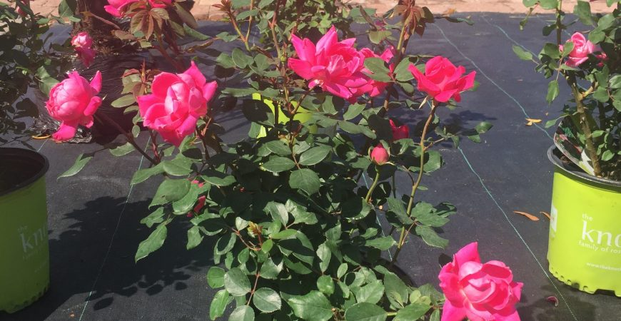 Knock-out Roses
