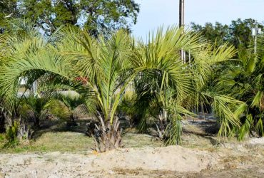 Pindo Palm Trees